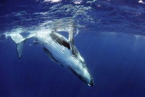 Victoriawalkerphotography 300x202 - Humpback Whales