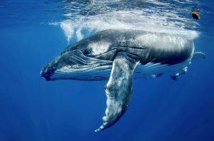 Whaleart 300x198 - Humpback Whales
