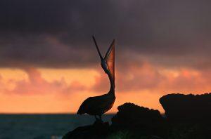 C10 SUNSET PELICAN 300x198 - Galapagos
