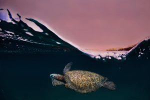 Sunset Turtles 2 300x200 - Galapagos